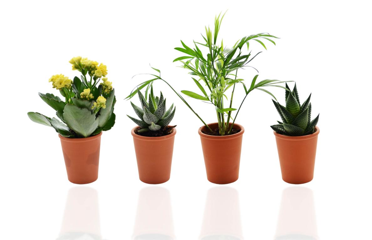 Mini plante  dépolluante en pot