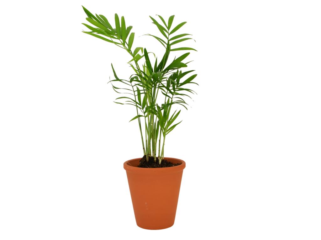 Plante  dépolluante en pot terre cuite